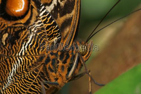 marrone farfalla beige