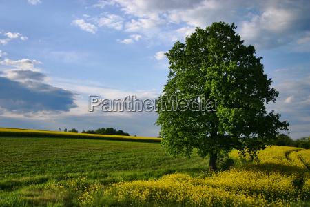blu albero alberi verde colza campo