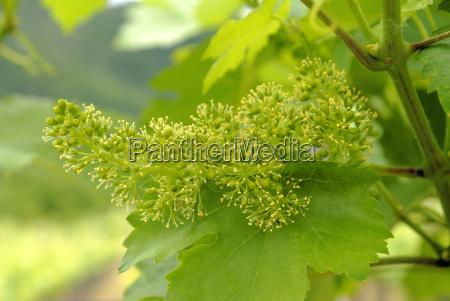 fiore di vino