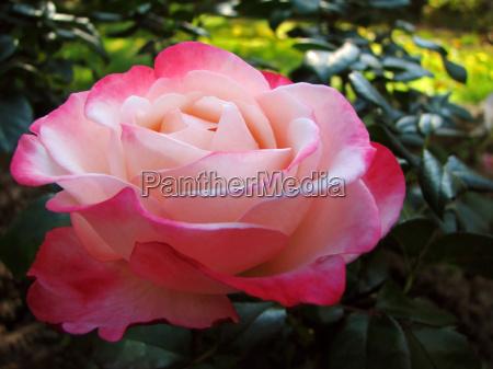 giardino fiore rosa verde fioritura botanica