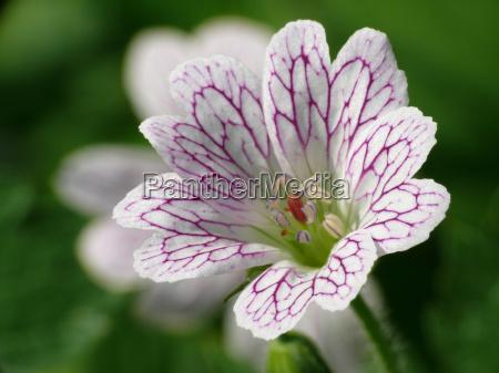 giardino fiore fioritura flora estate caucasico