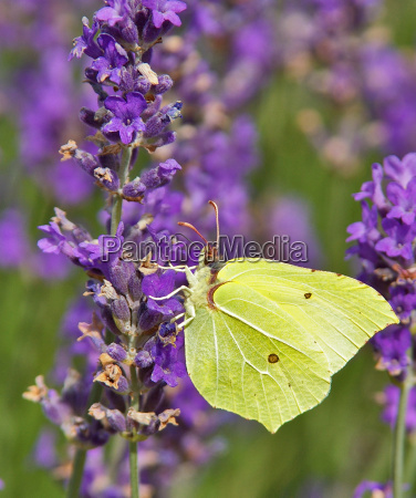 limone butterfly