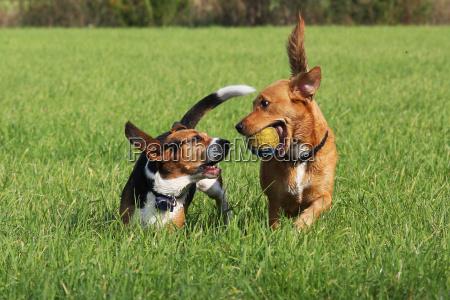 giocando i cani