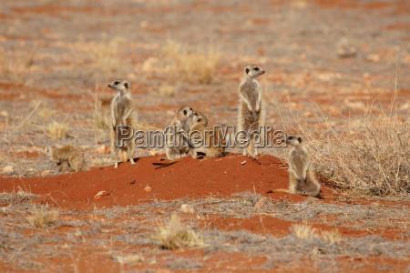 deserto animale mammifero marrone fauna selvaggio