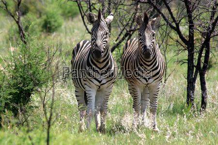 due zebre