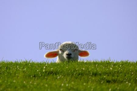 occhi pecora concentrico agnello diga prato