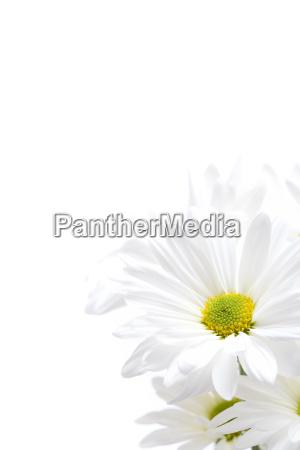 fiore fiori freschezza primavera bianco fresco