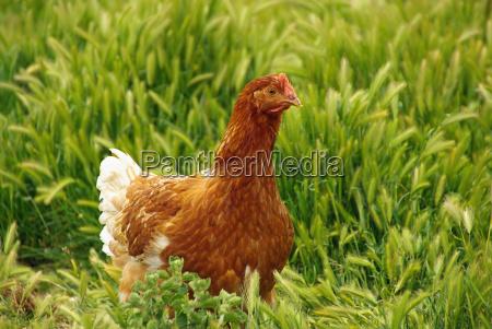 pollo 05