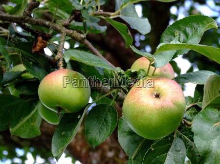 vitamine agricoltura melo frutta mele mela
