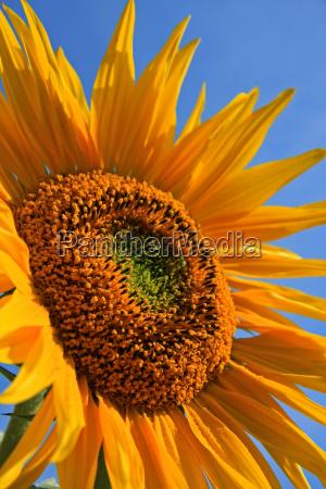 fiore fioritura estate girasole impianto stagione