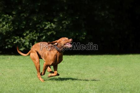 denti cane segugio sport dello sport