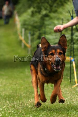 schaeferhundmix le corse dei cani