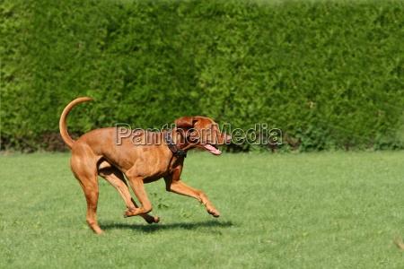 cane azione muoversi segugio sport dello