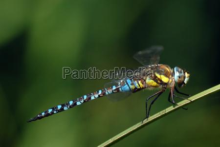 blu insetto libellula giallo