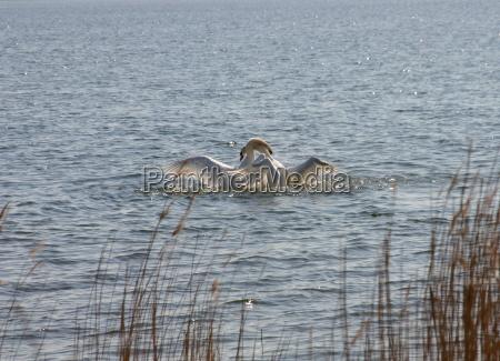 uccello cigno uccelli acqua mar baltico