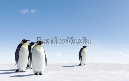 animale uccello pinguini pinguino natura imperatore
