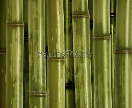 fine bamboo background