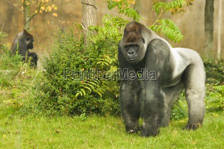 animale gorilla pensiero tribus gorillini ape