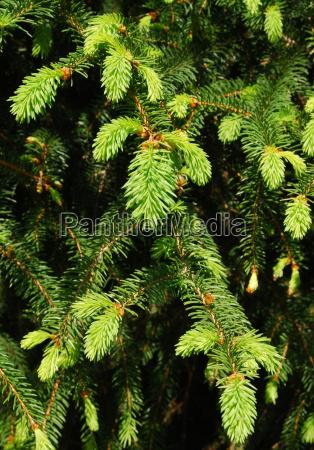verde abete rosso conifera aghi bosco