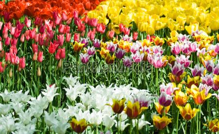 fiore fiori tulipani olanda primavera paesi