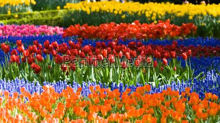 giardino fiore fiori tulipani olanda primavera