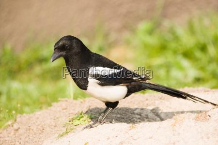 animale uccello animali uccelli caucasico bianco