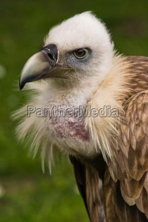 animale uccello animali uccelli predatore quotgriffon