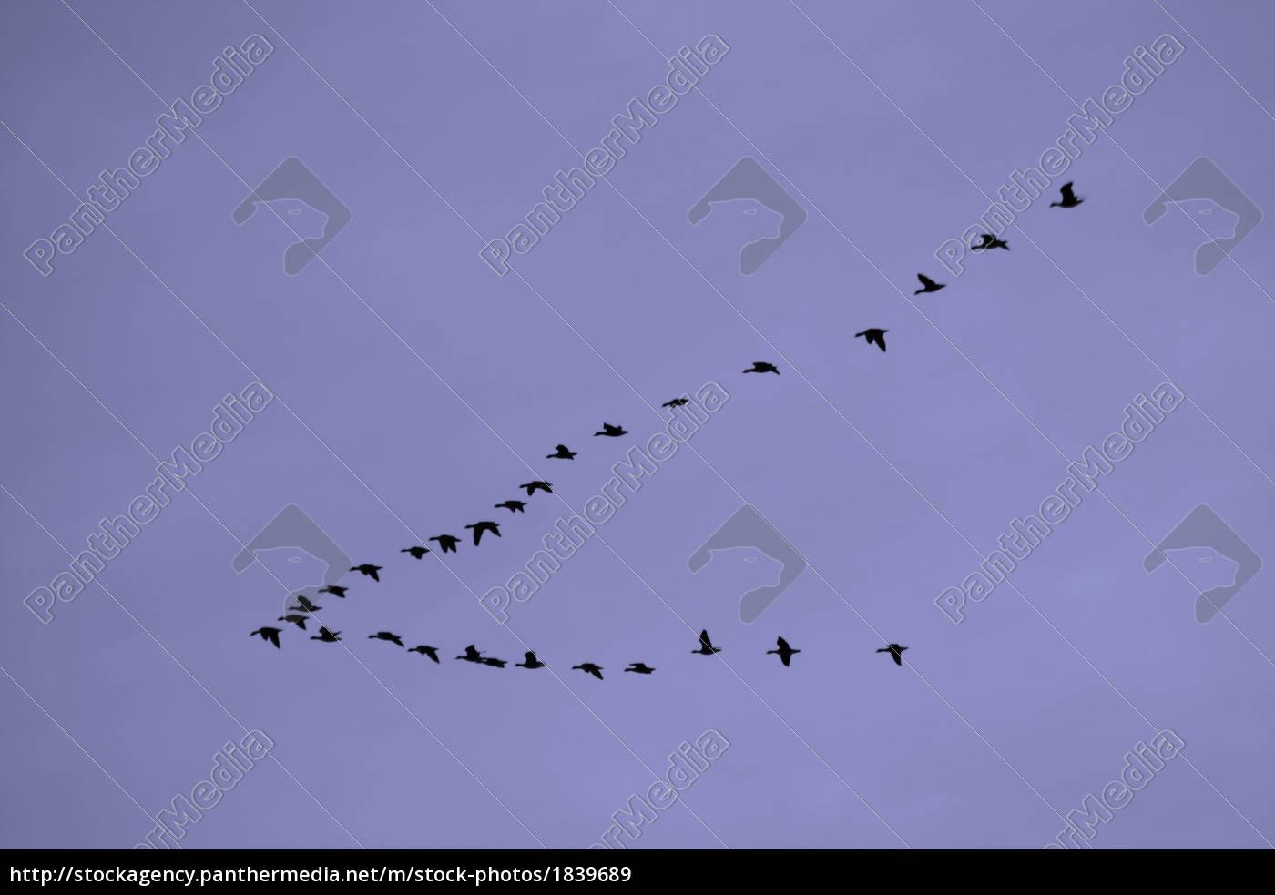 stormo, di, uccelli - 1839689