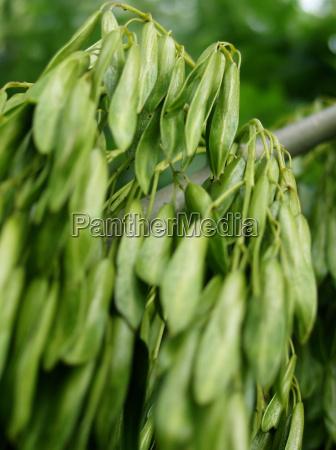 frutta spermatozoo sperma frassino