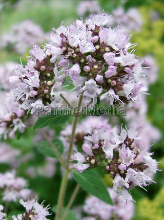 fiore di origano