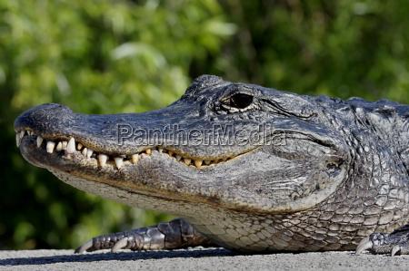 animale selvaggio palude natura rettili alligatore
