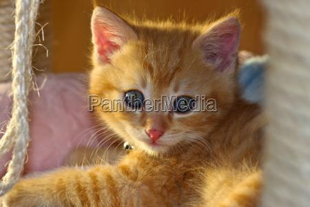 animale domestico mammifero peluche pelliccia gattino