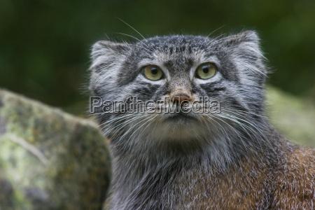 animale mammifero animali gatti mammiferi gatto