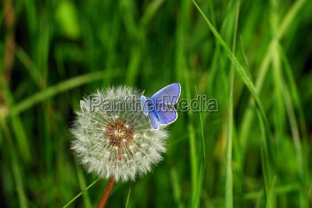 blu insetto farfalla piccolo poco breve