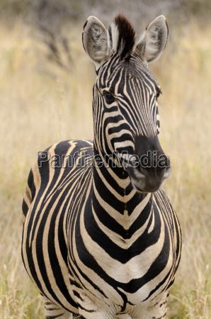ritratto di una zebra africa