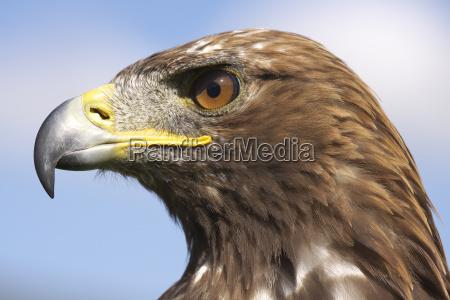 uccello ritratto uccelli rapace becco piumaggio