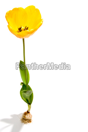 fiore impianto tulipano bulbo sprintare germoglio