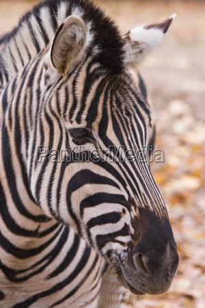 animale mammifero animali zebra mammiferi natura