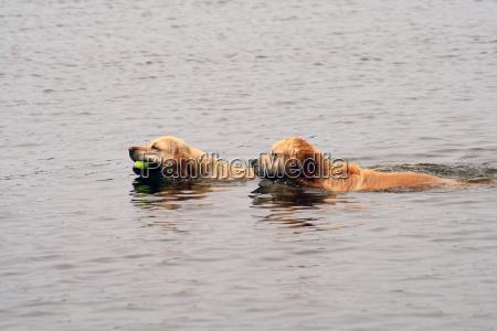 sport acquatici arvicola nuoto nuotare