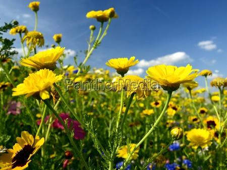 blu fiore di prato estate fioritura