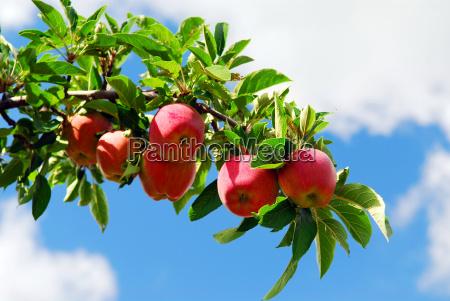 albero maturo frutta mele mela frutteto
