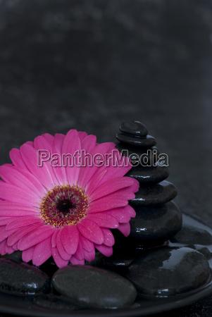 fiore gerbera rosa