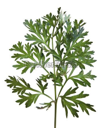 wormwood artemisia assenzio