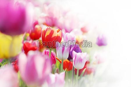 tulips highkey