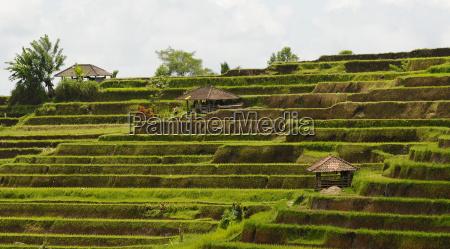 i campi di riso bali