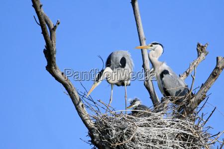 uccello uccelli prole airone giovani famiglia