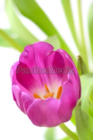 dettaglio fiore fioritura viola impianto tulipano