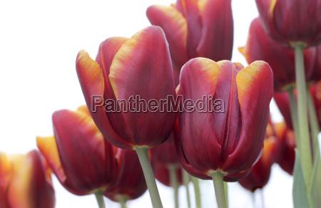 rotorange tulips