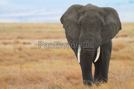 elefante aquese