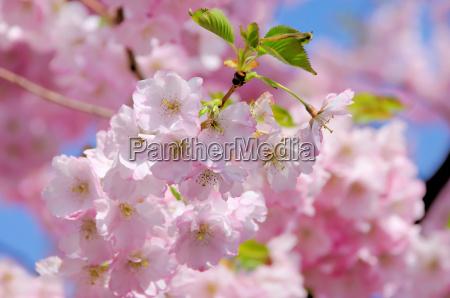 fioritura primavera ramo petalo ciliegia rosa
